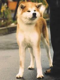 Physique and colour of coat - akita-frey